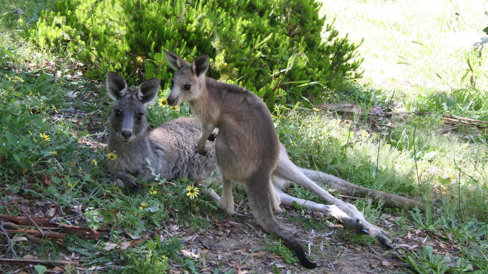 See kangaroos up close
