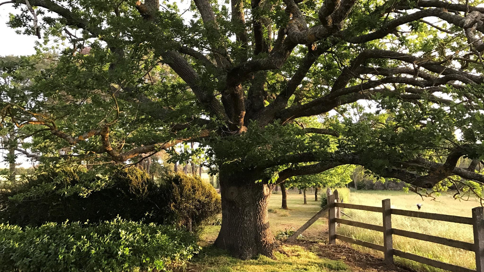 Mount Mitchell - Oak tree