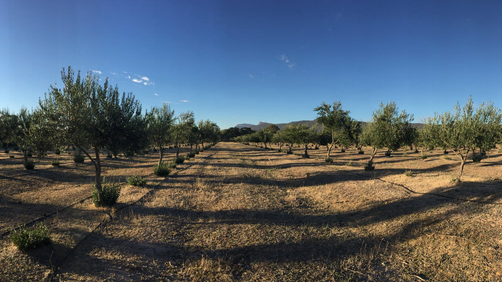 The olive grove at sunrise