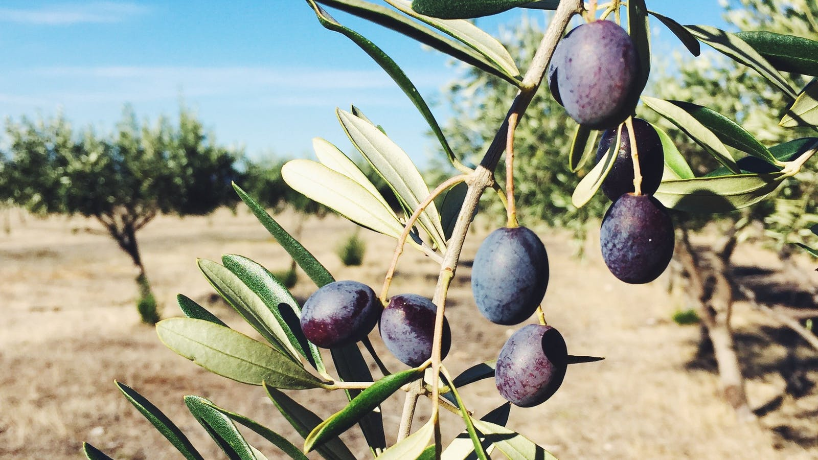 Red Rock Olives - Olive grove