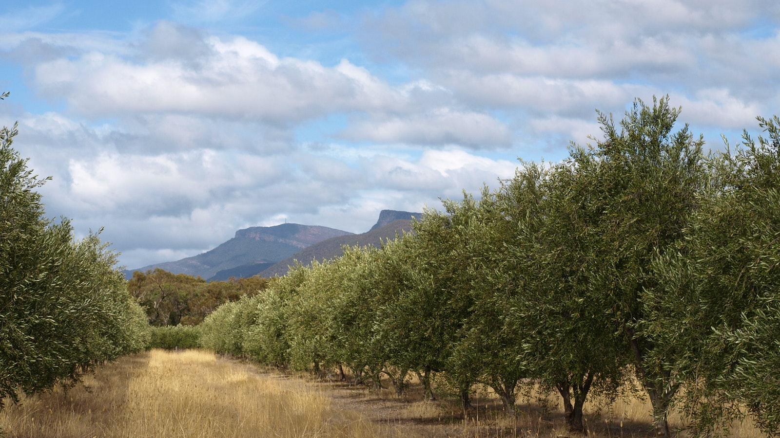 Red Rock Olives, view of tress under Mt William