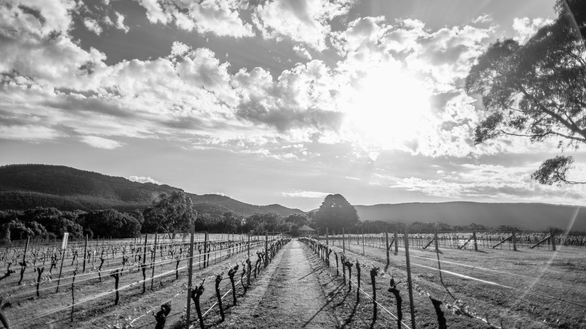 Halls Gap Estate - Fallen Giants Vineyard