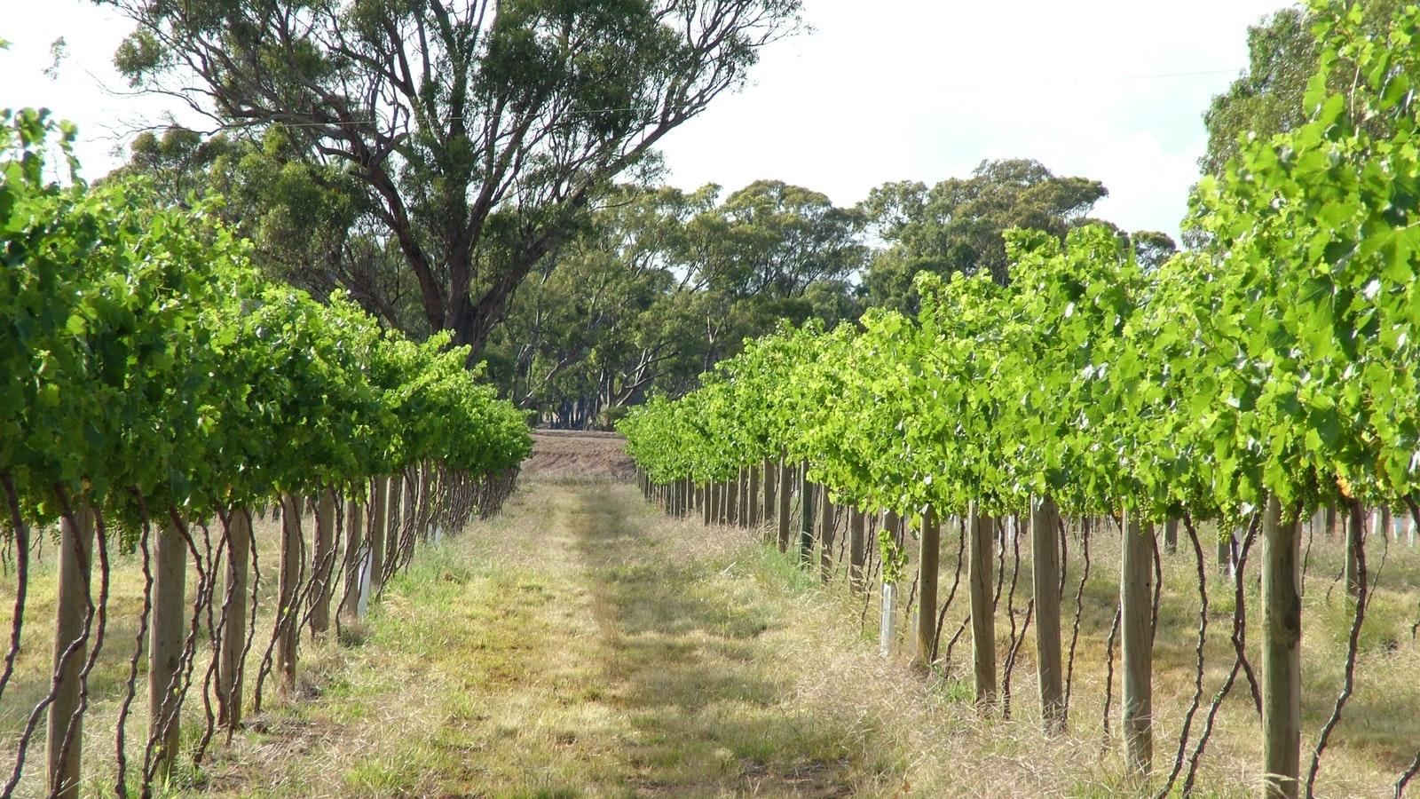 Mature vines
