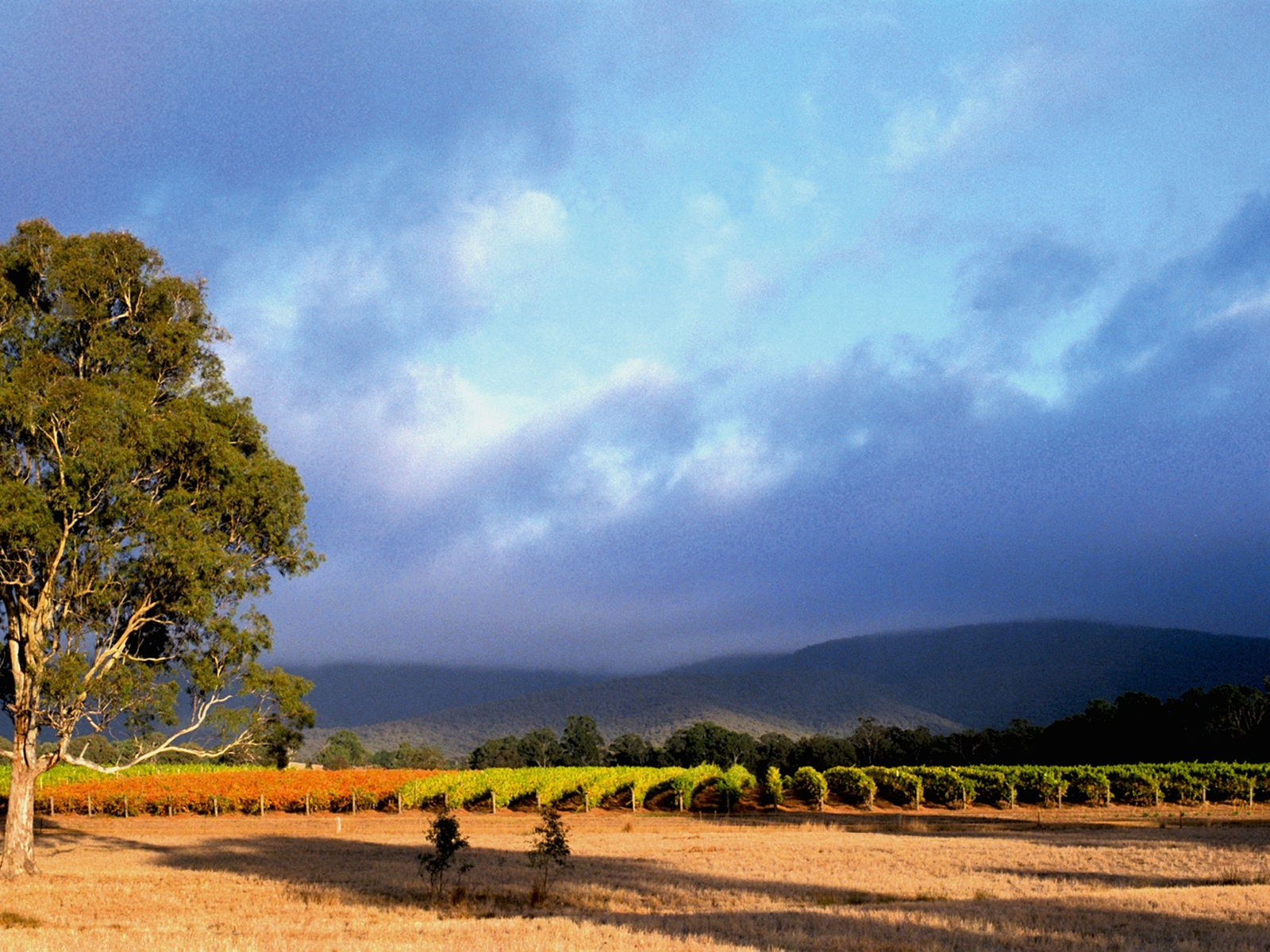 Mount Avoca Vineyard after vintage