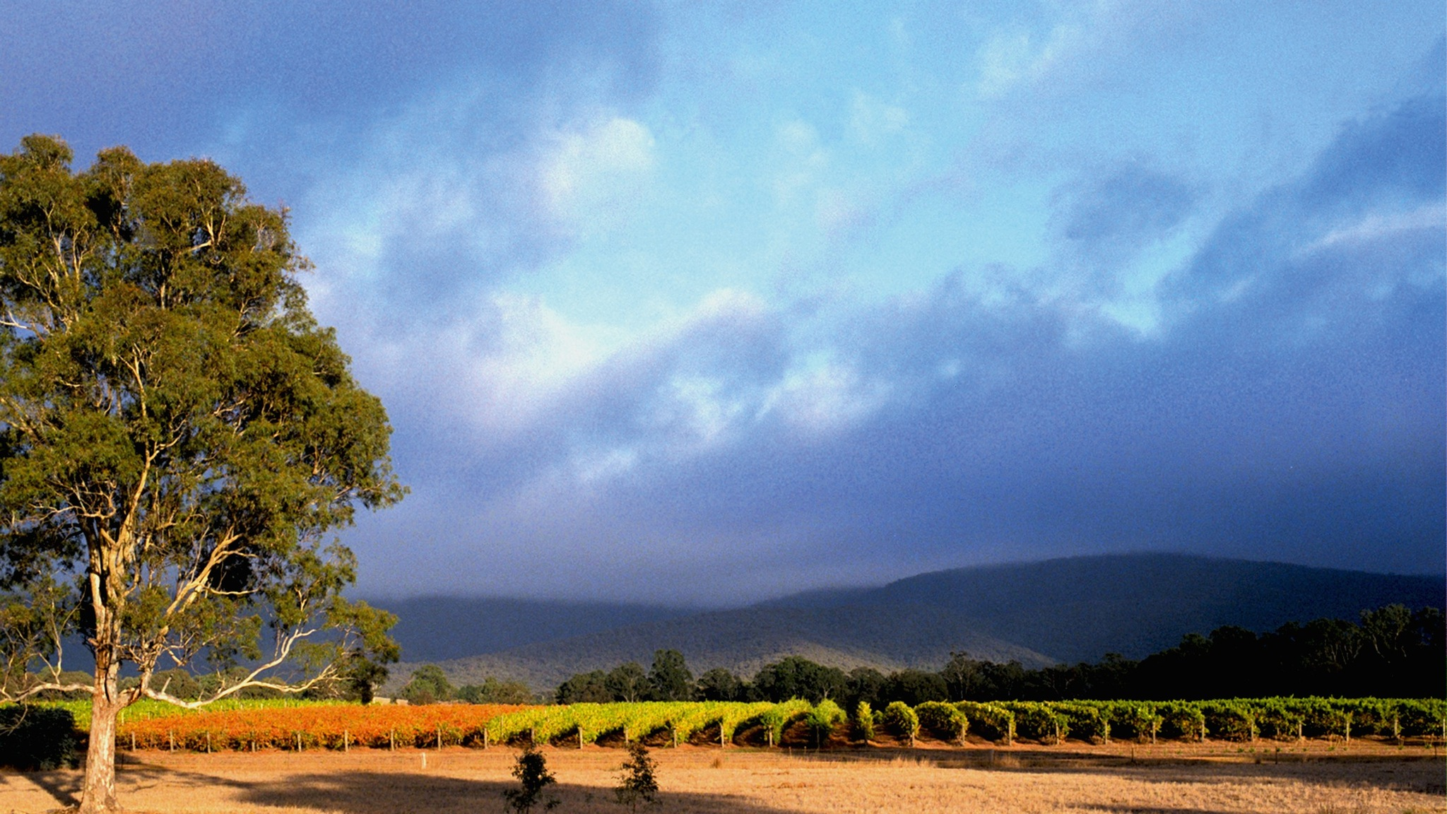 Mount Avoca Vineyard after vintage
