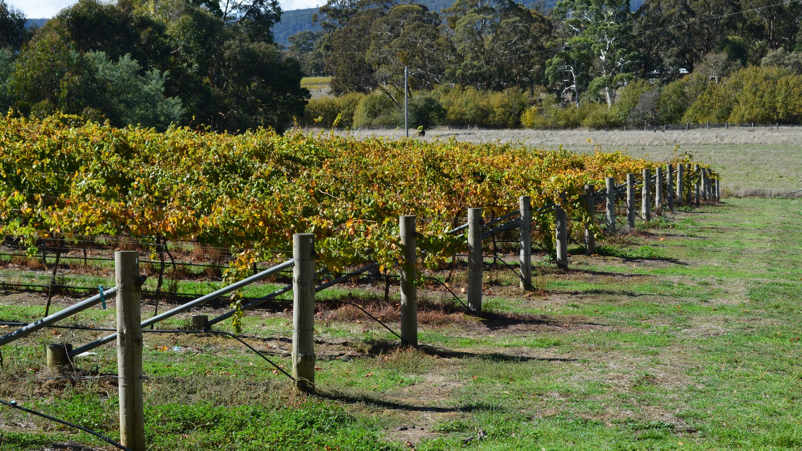 The Viognier vineyard looking up at Mt Cole