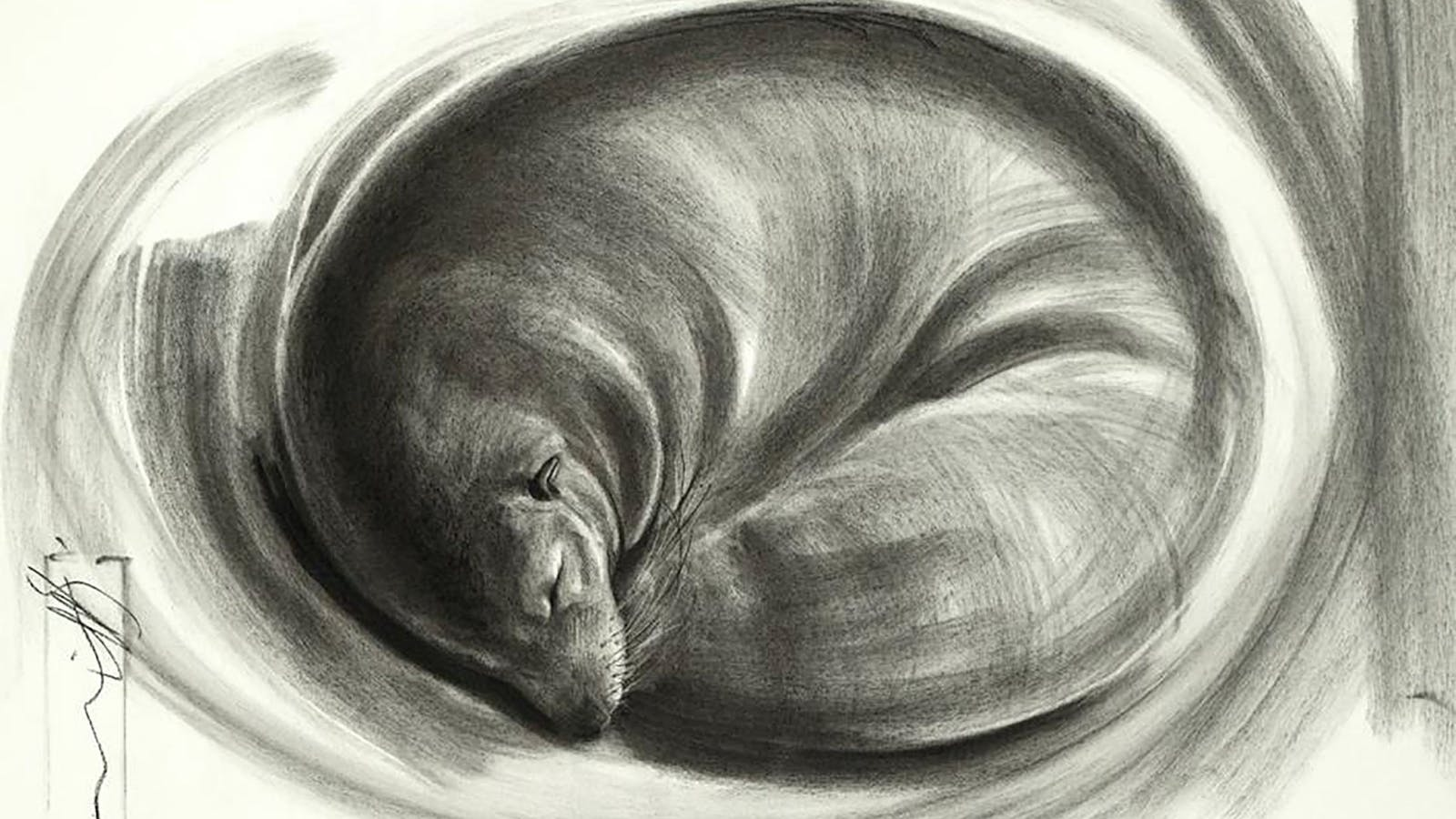 'Meditation - New Zealand fur seal' = Charcoal on Arches paper, Image size 30 x 45cm.