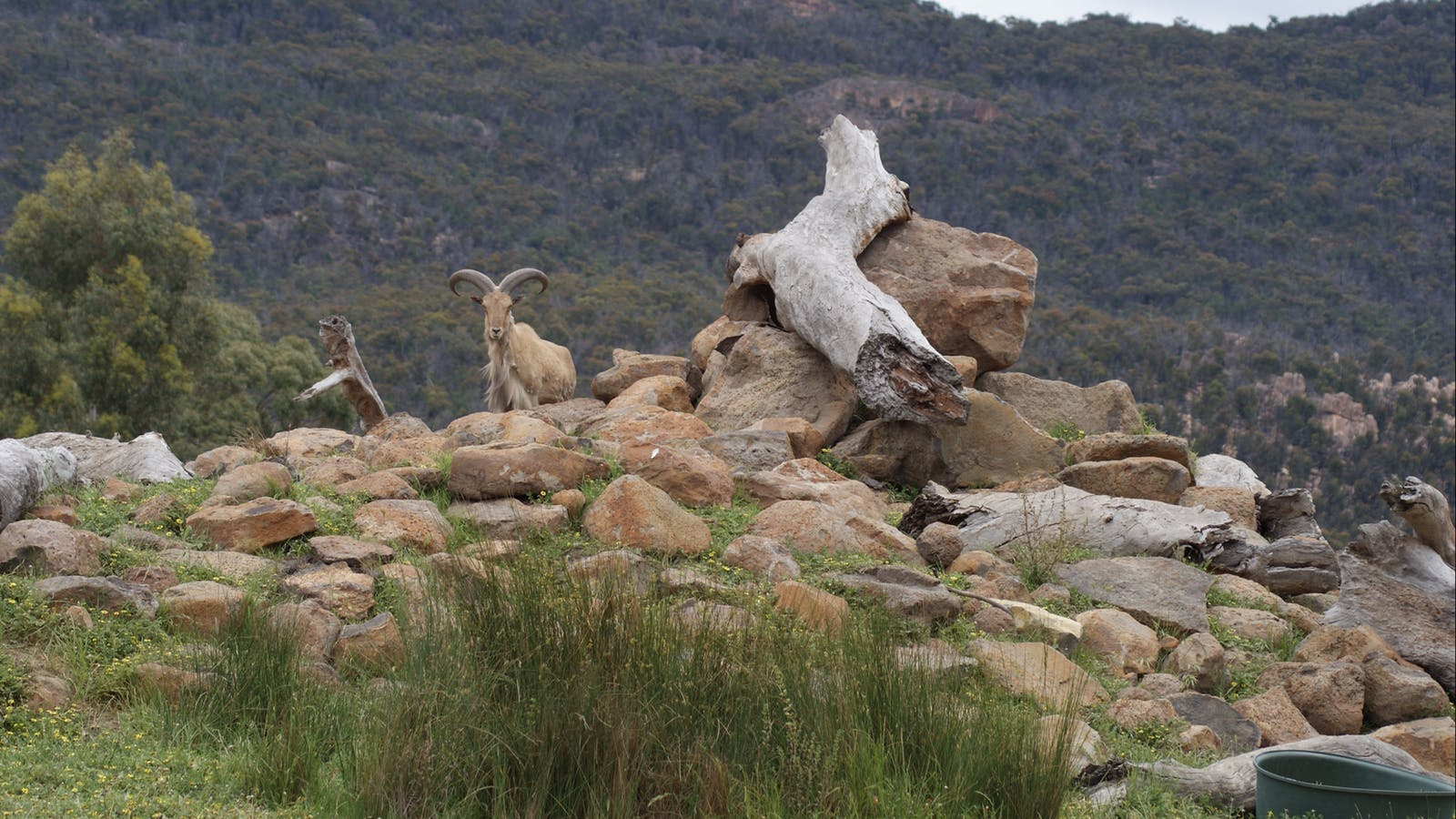 Barbary Sheep with the Grampians in the background