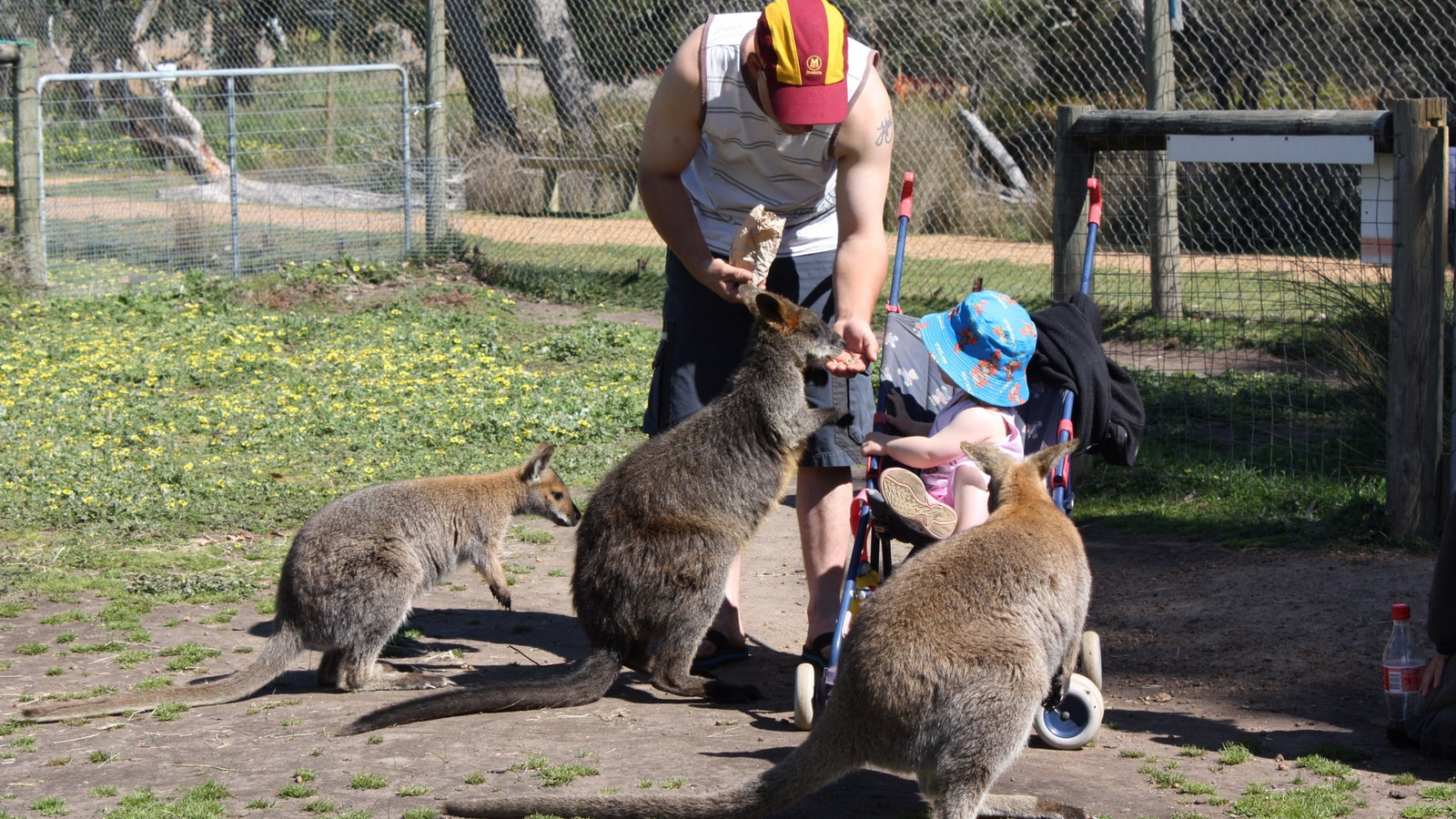 Feed the Wallabies at Halls Gap Zoo