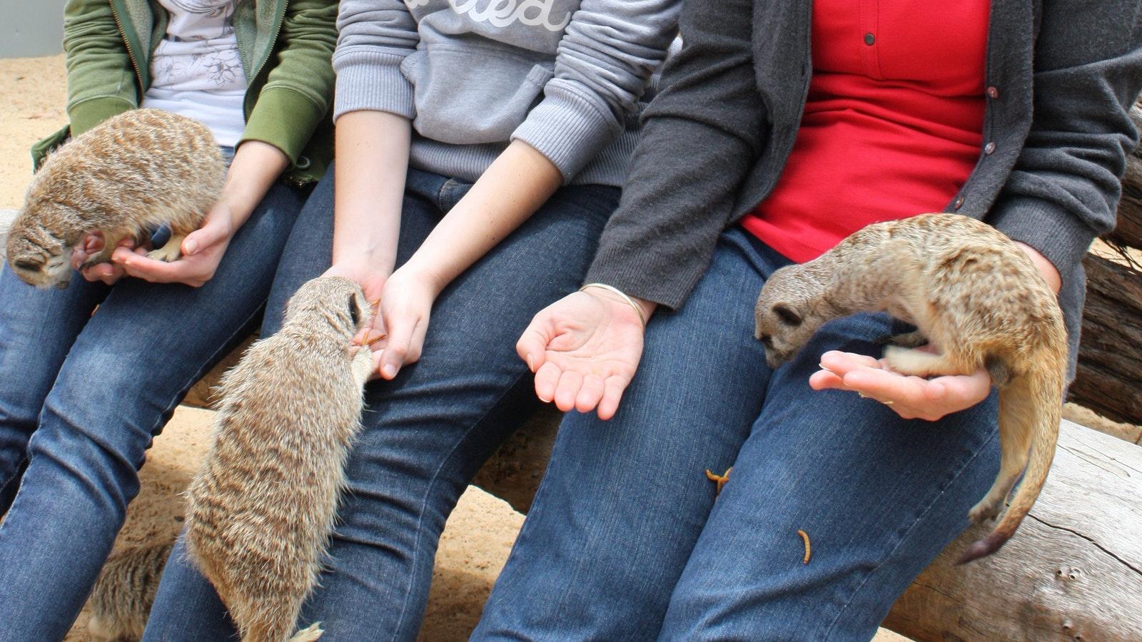 Feed the meerkats at Halls Gap Zoo
