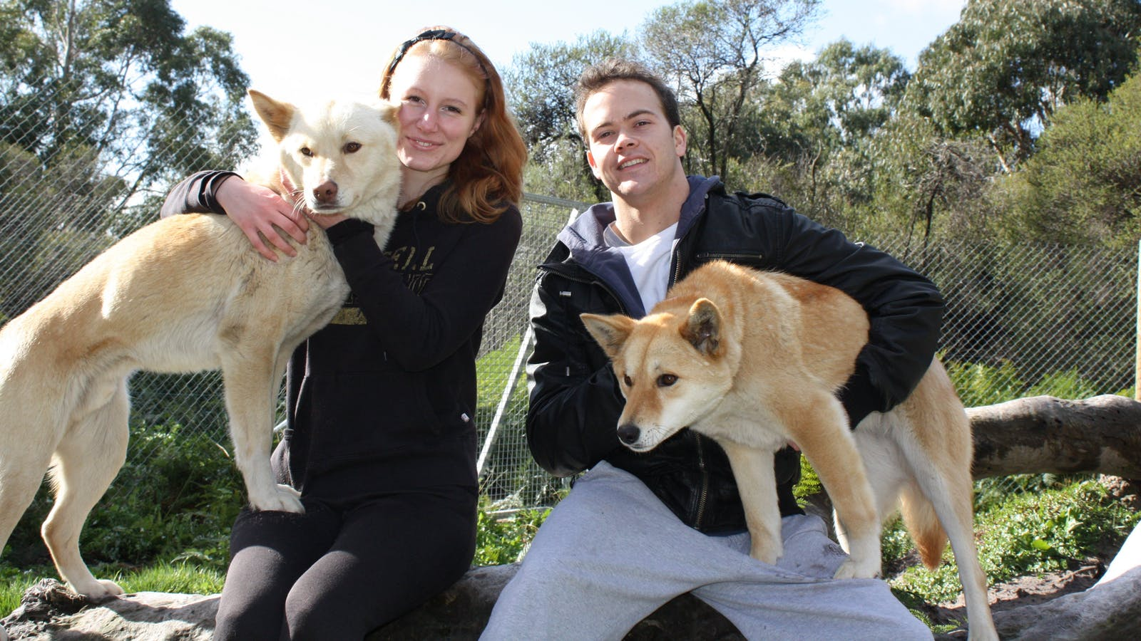 Close encounter with the dingoes