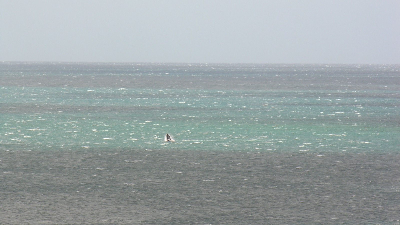 breeching whales