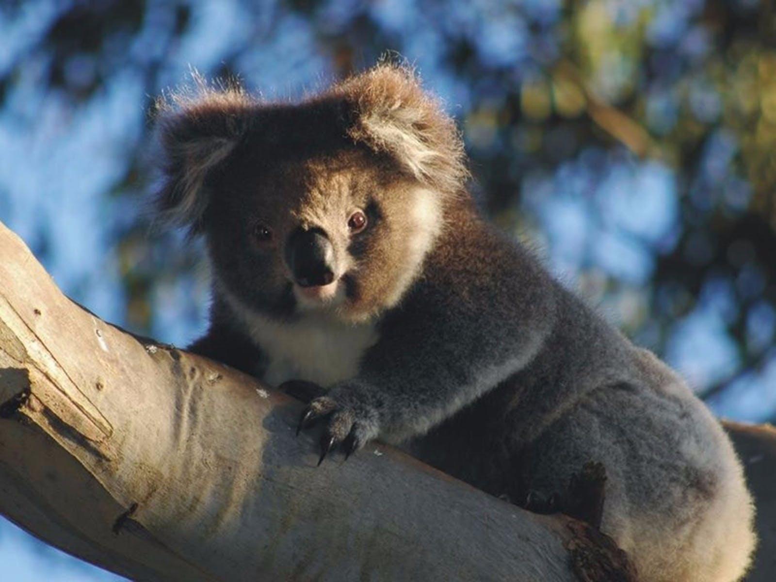 Bimbi Park Camping Under Koalas