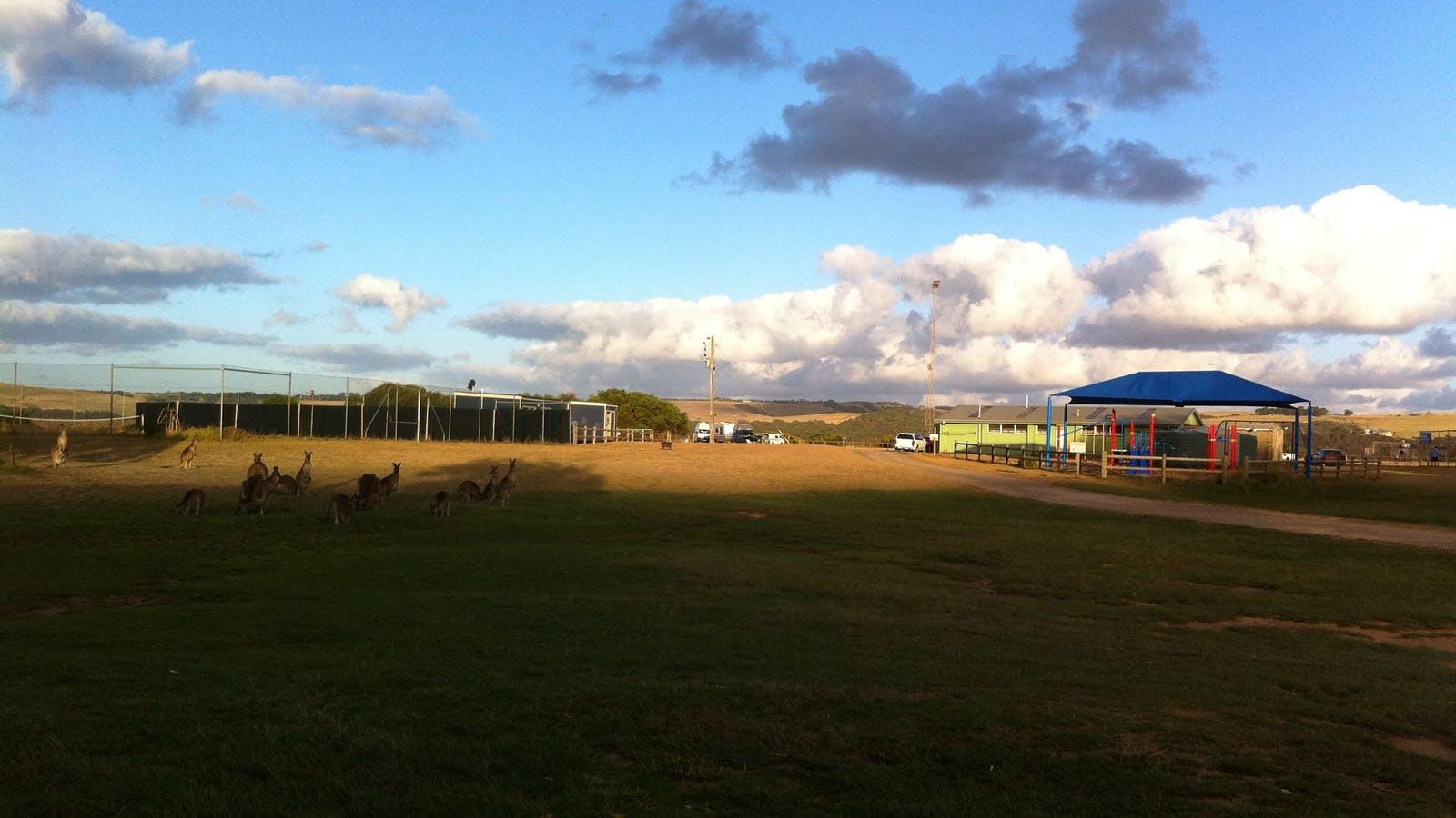 Kangaroos at Princetown Recreation Reserve