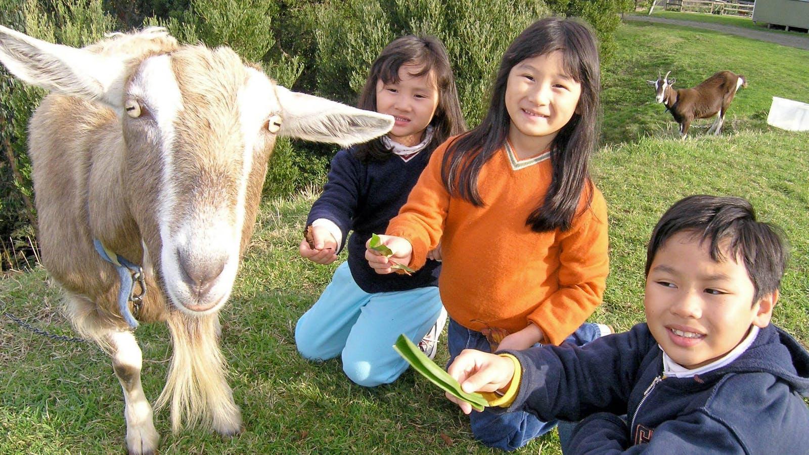 Feeding Nanny Goat