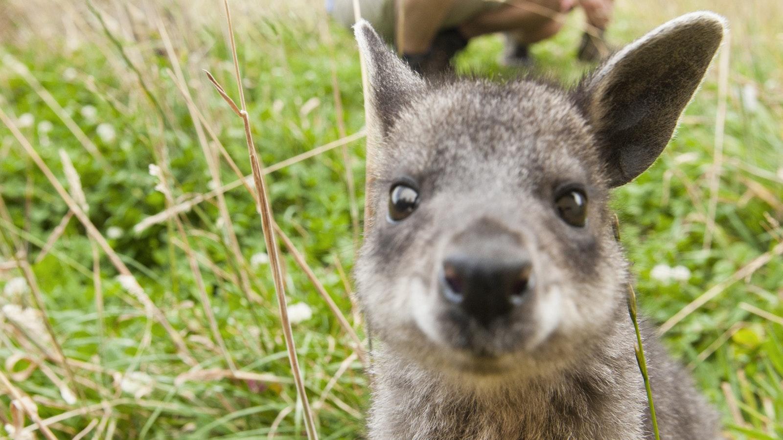 Wallaby magic