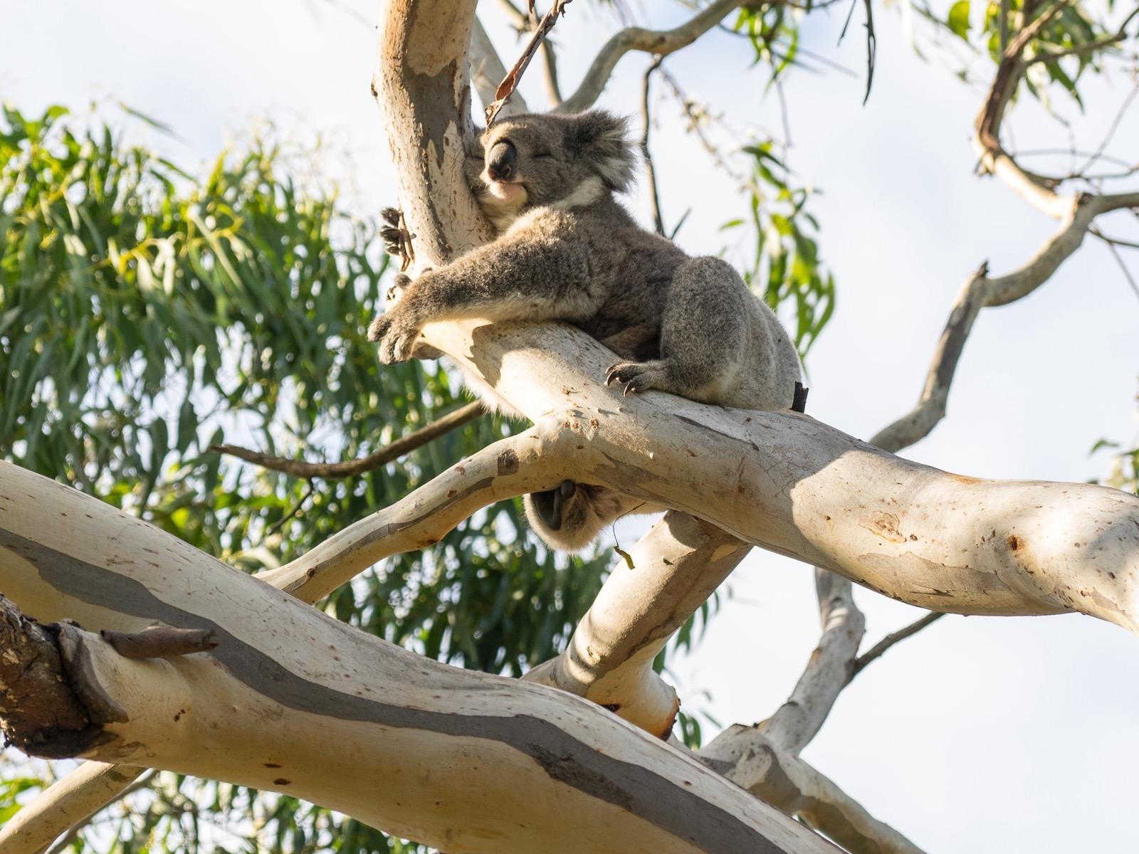 Nap time for this furry Koala