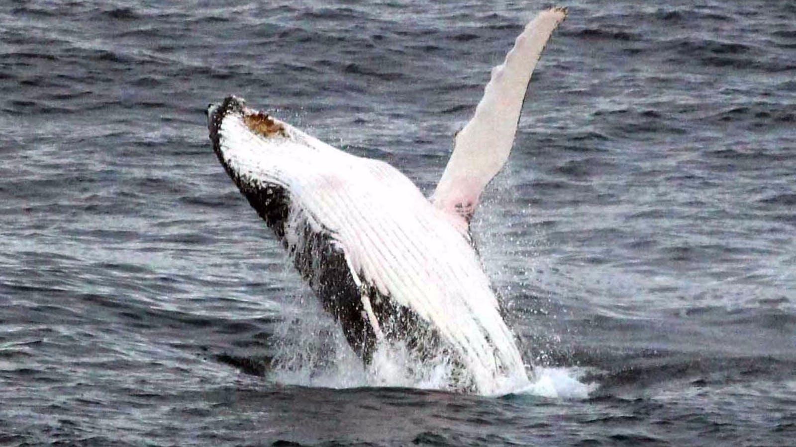 Portland Whale