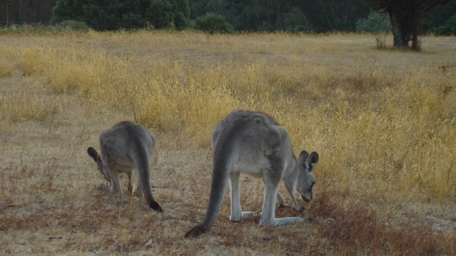 Some of the local Kangaroos