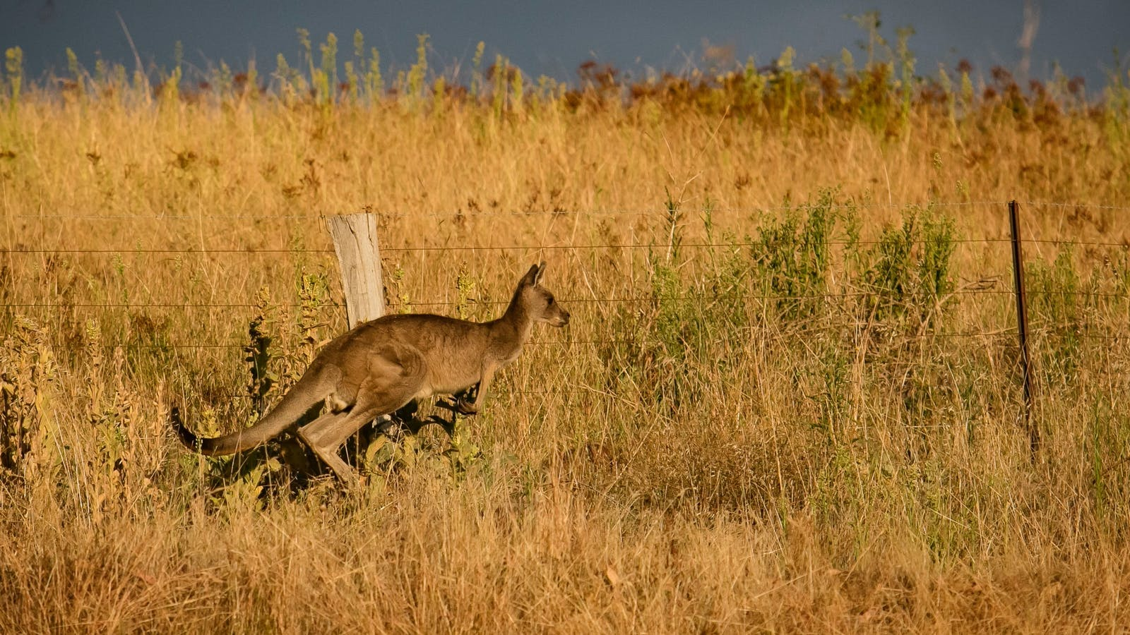 Local attractions; Kangaroo, The Lodge, Mt Bellevue King Valley