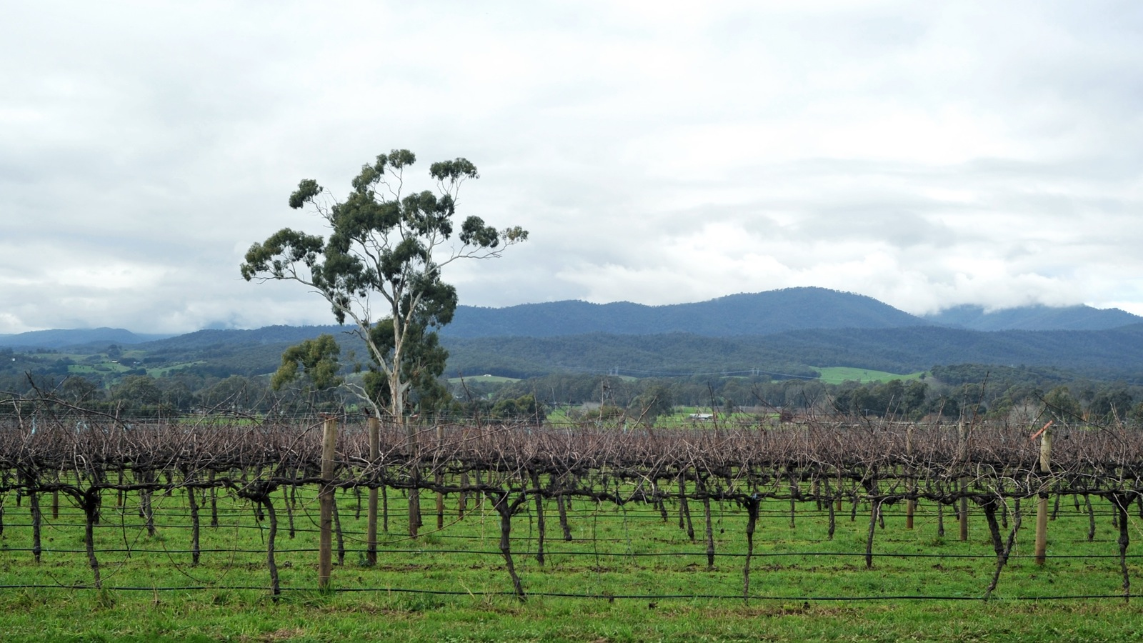 Winter on the vines