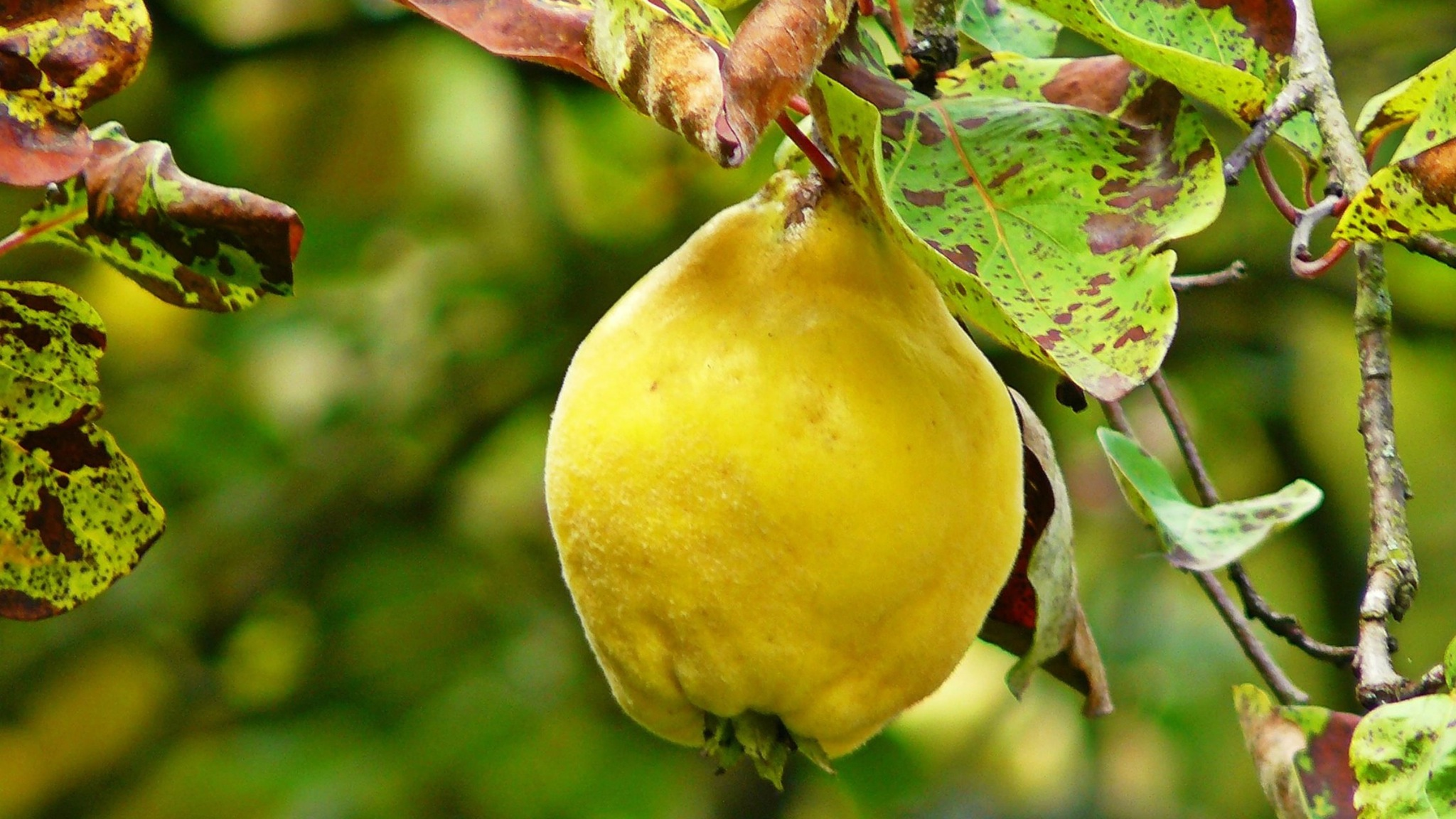 Pick your own organic quince from the orchard