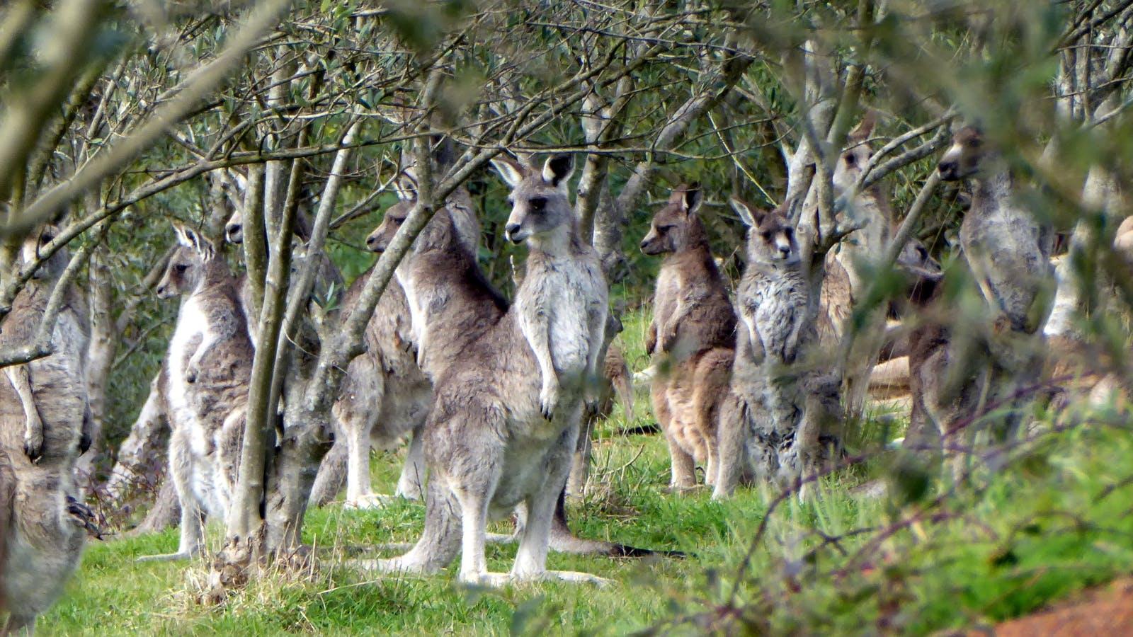 Kangaroos in the olive grove