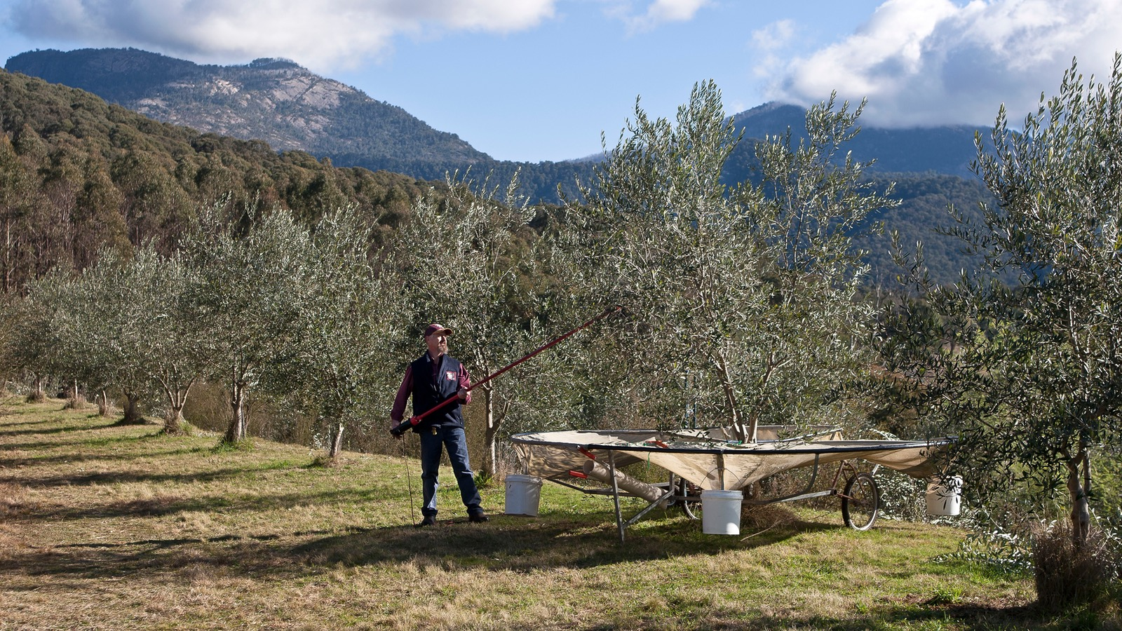 Harvesting the olives at Mt Buffalo Olives