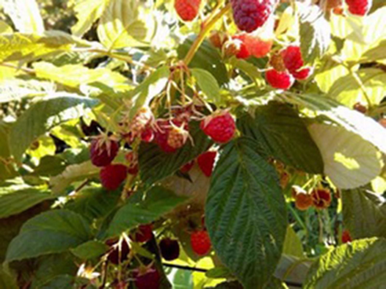 Gunnadoo Berries