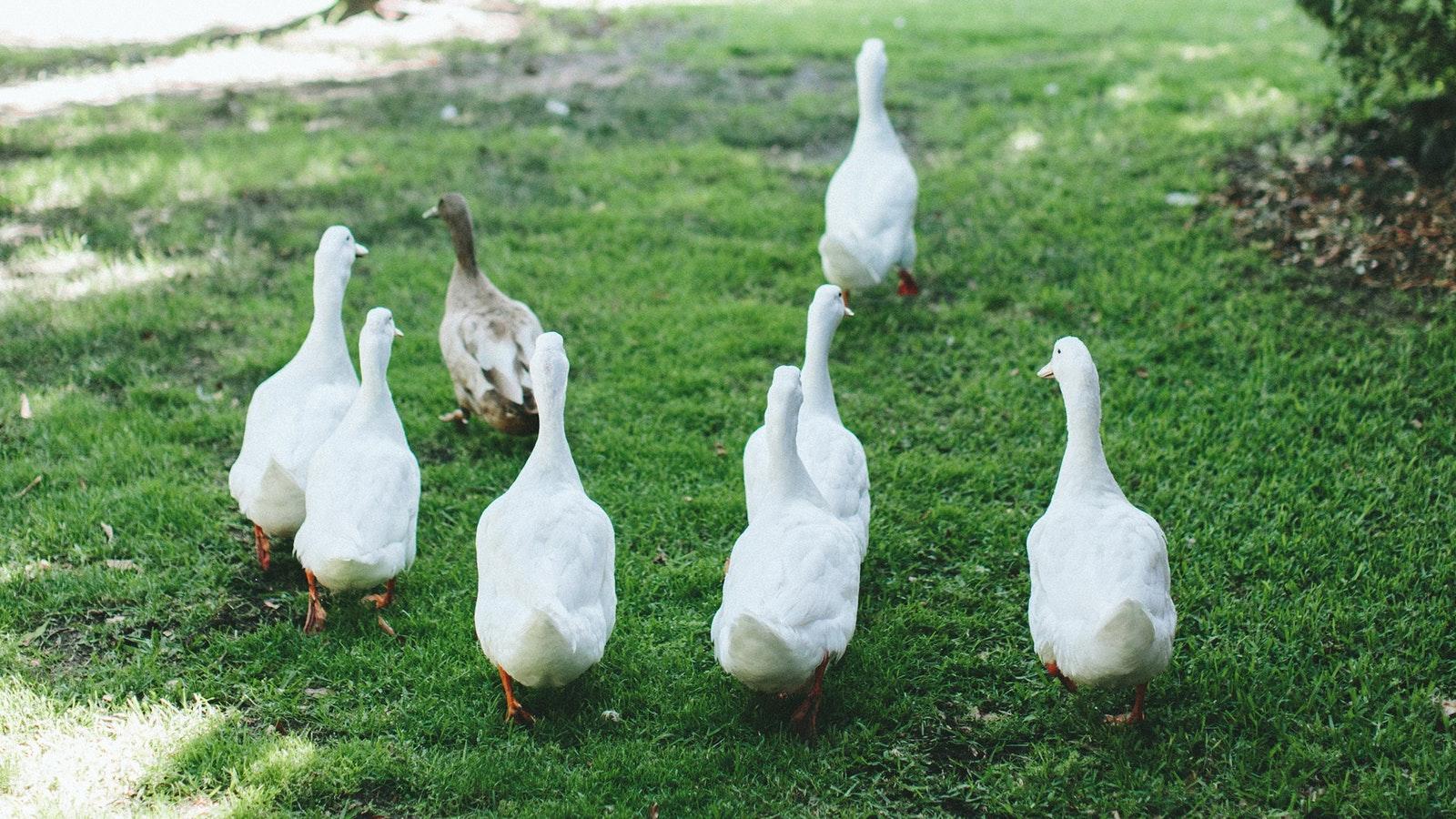 Indigo Food Co Ducks