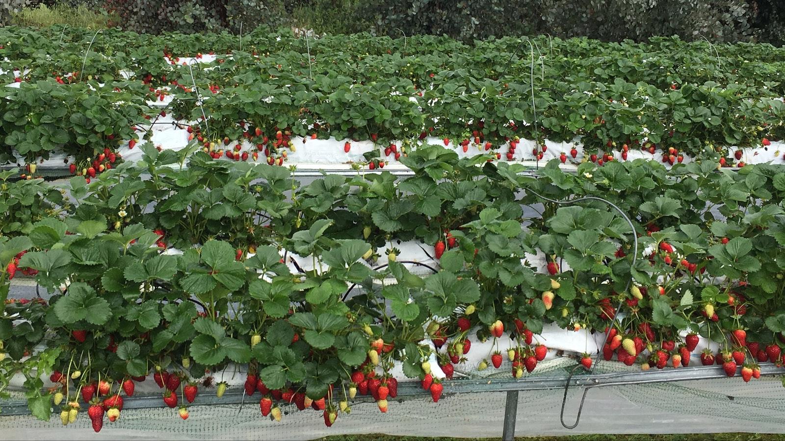 Strawberry crop in full fruit