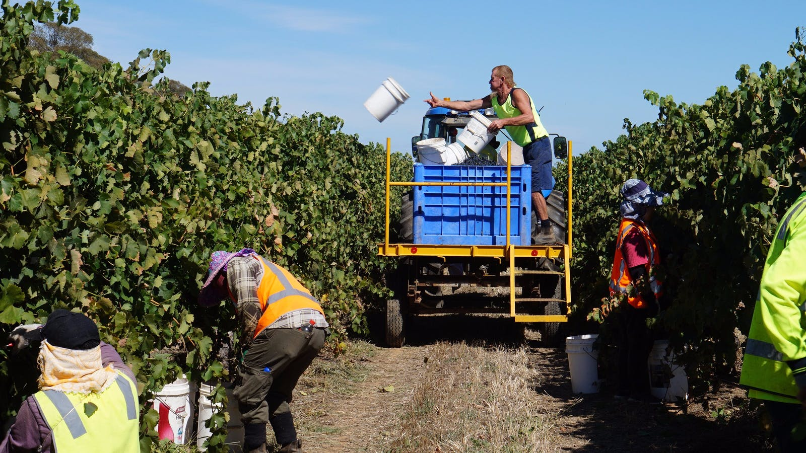 Hand picking grapes