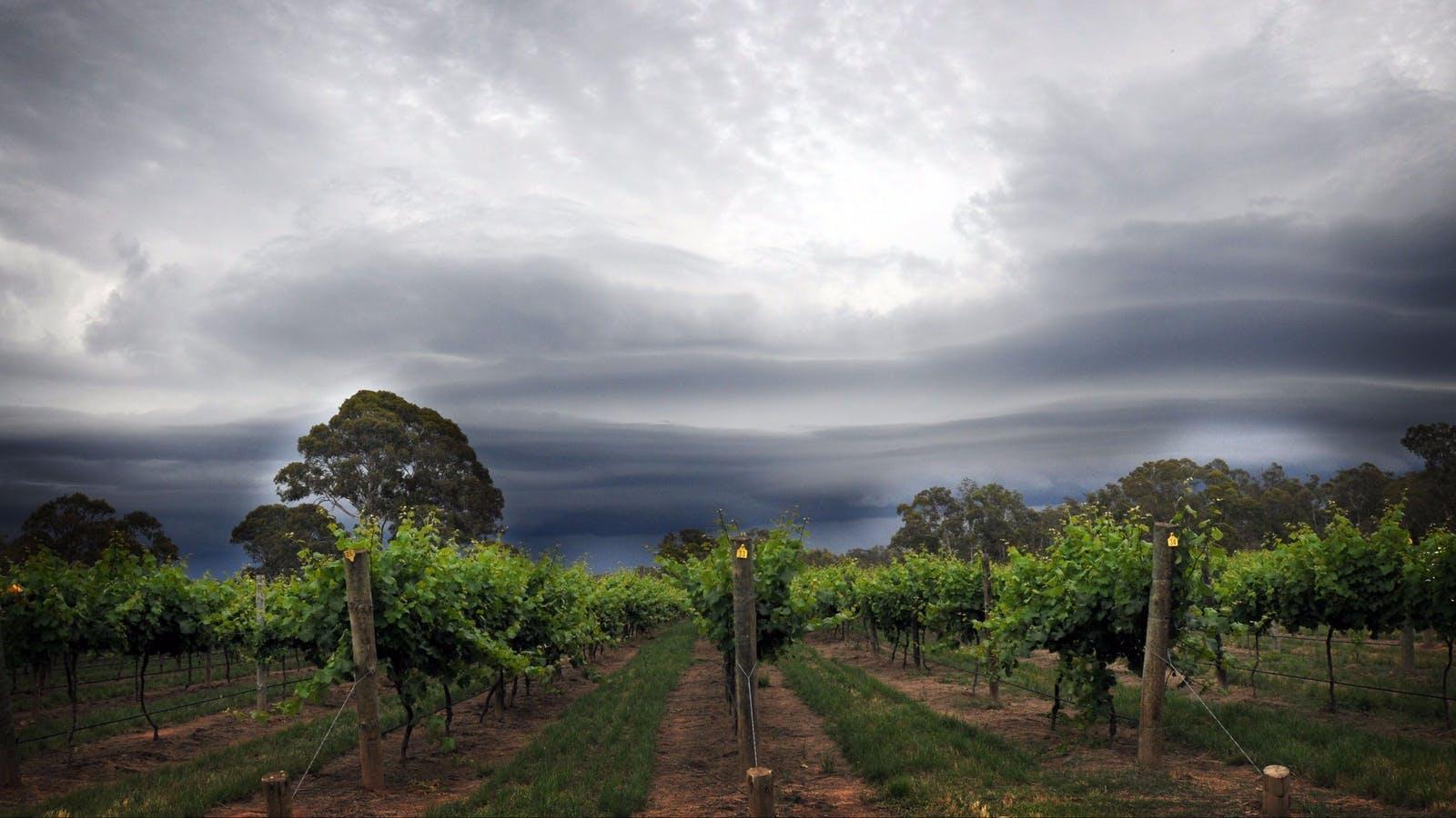 View across Tahbilk vineyards