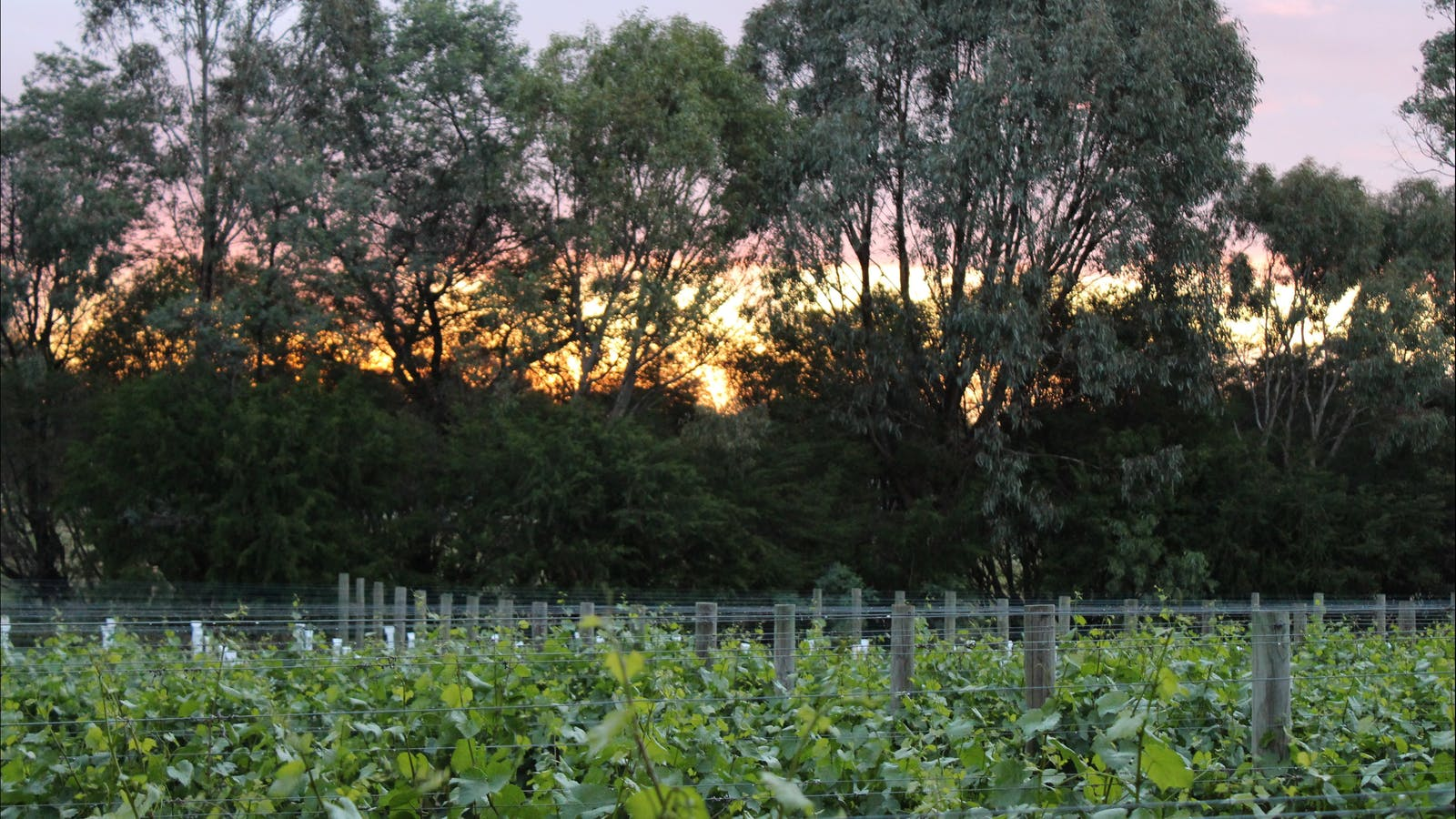 Sunset over Chardonnay