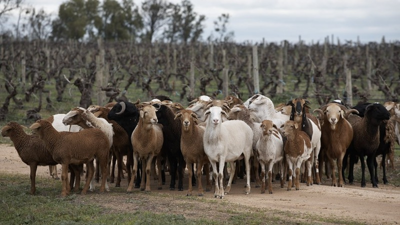 Damara sheep graze in the vineyard