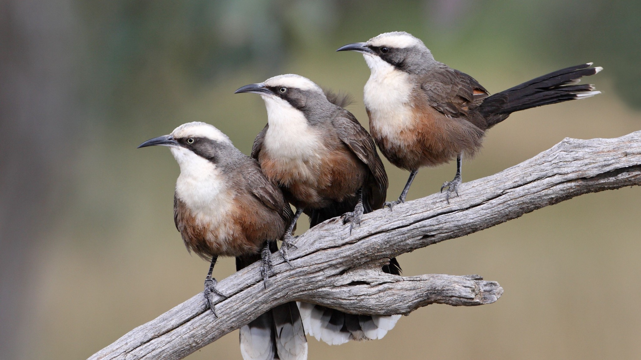 Three grey-browed babblers