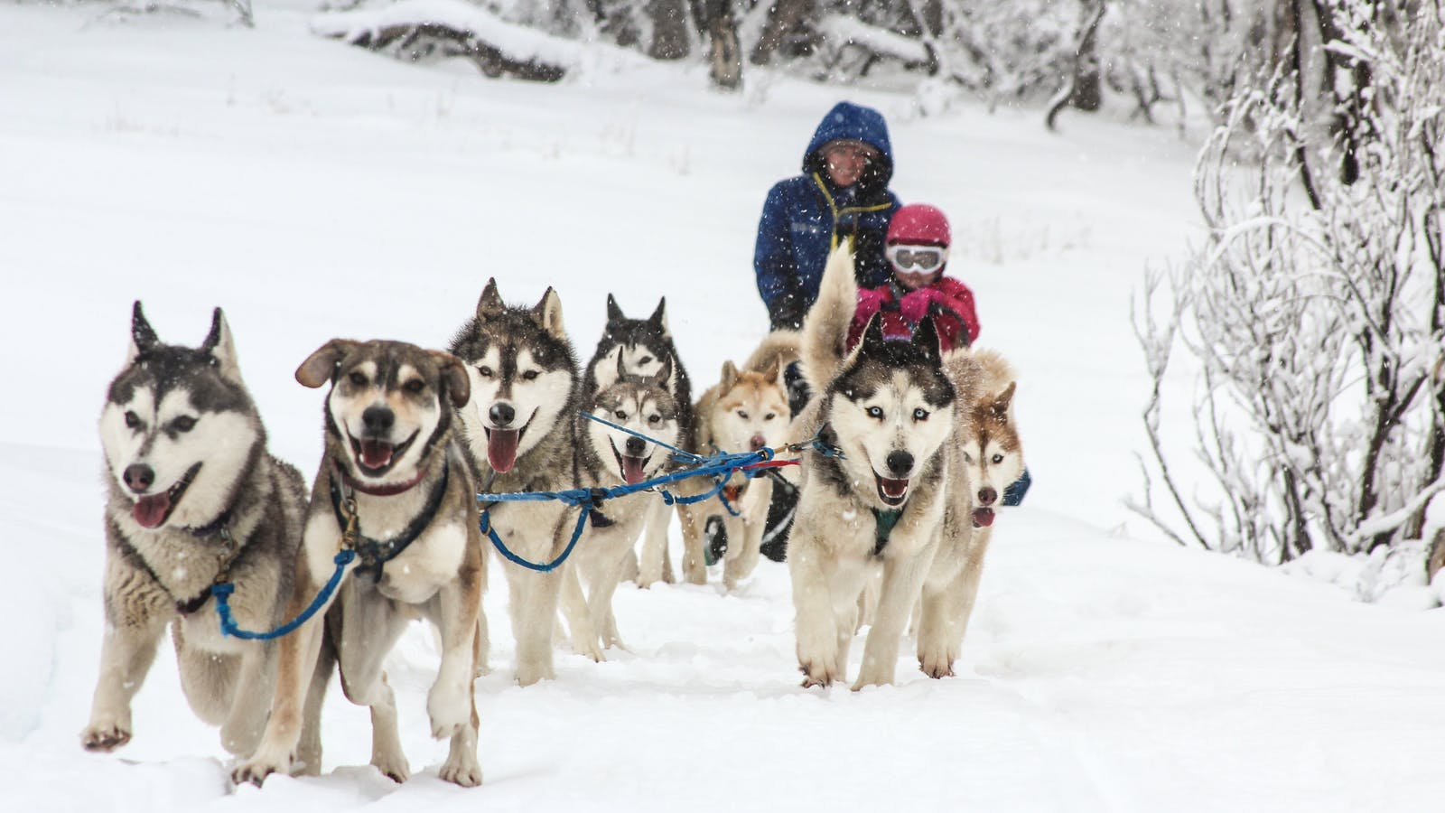 Dinner Plain's sled dogs are not to be missed!