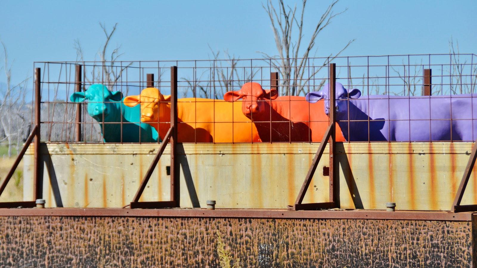 The Winton Cows