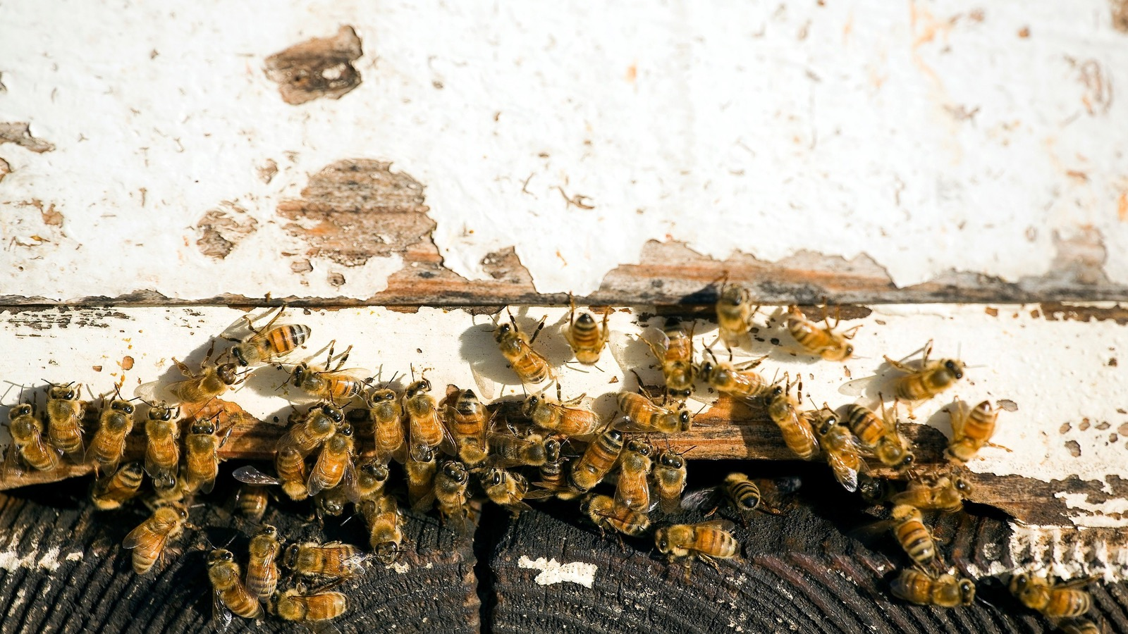 Beechworth Honey bees on hive