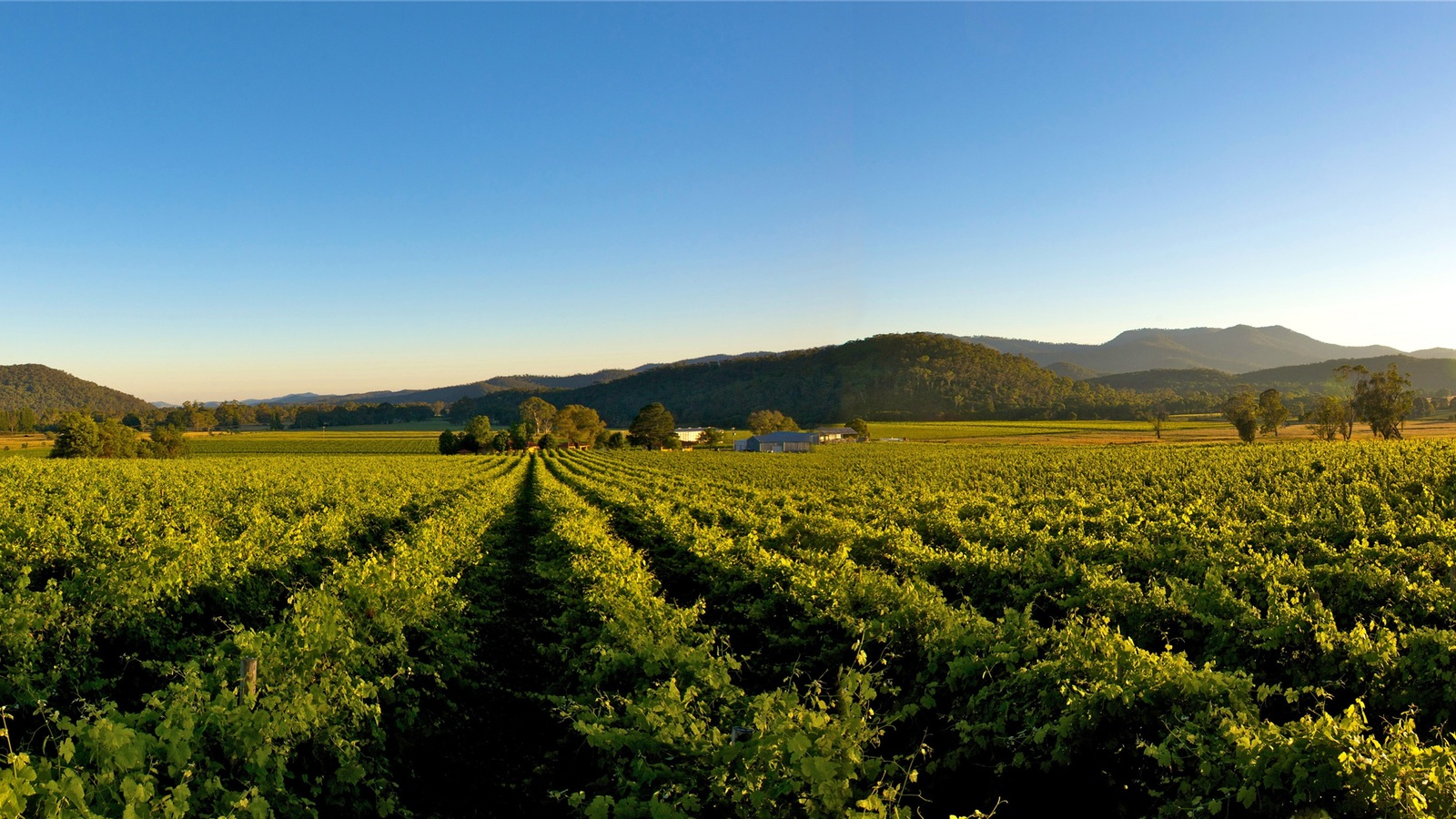 King Valley vines