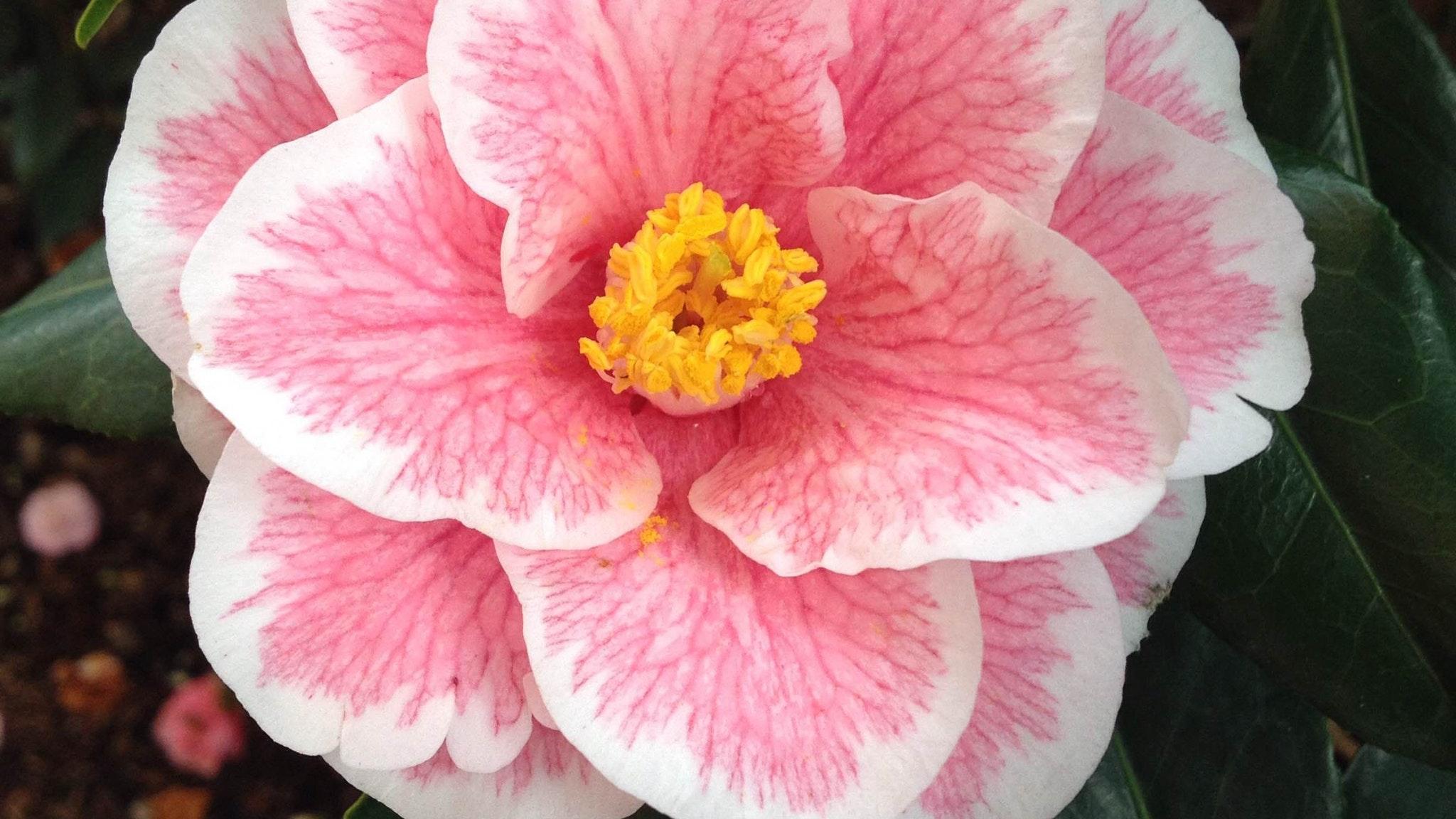 Camellia & Garden Show