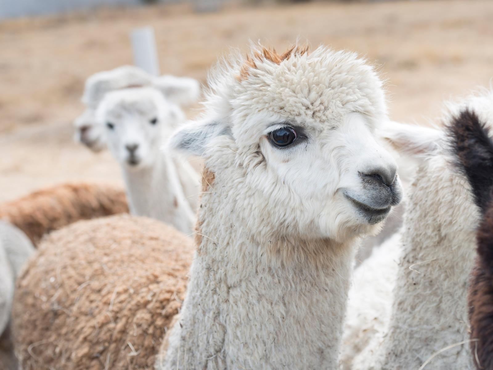 One of Creswick Woolen Mills alpacas