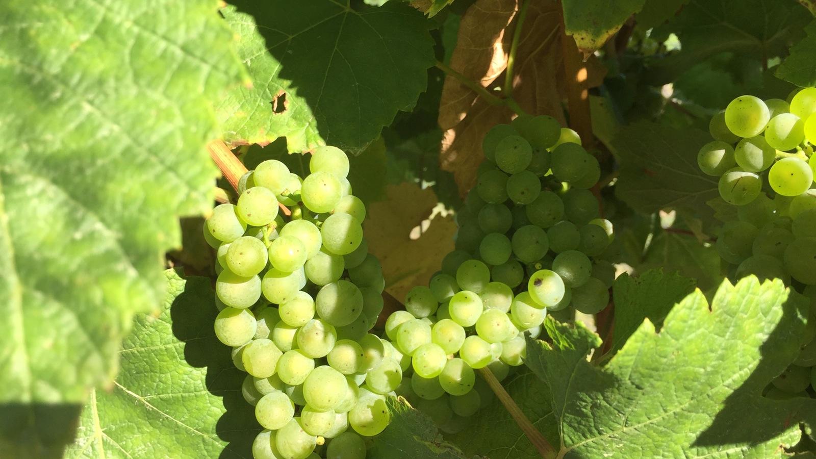 Vine ripened grapes