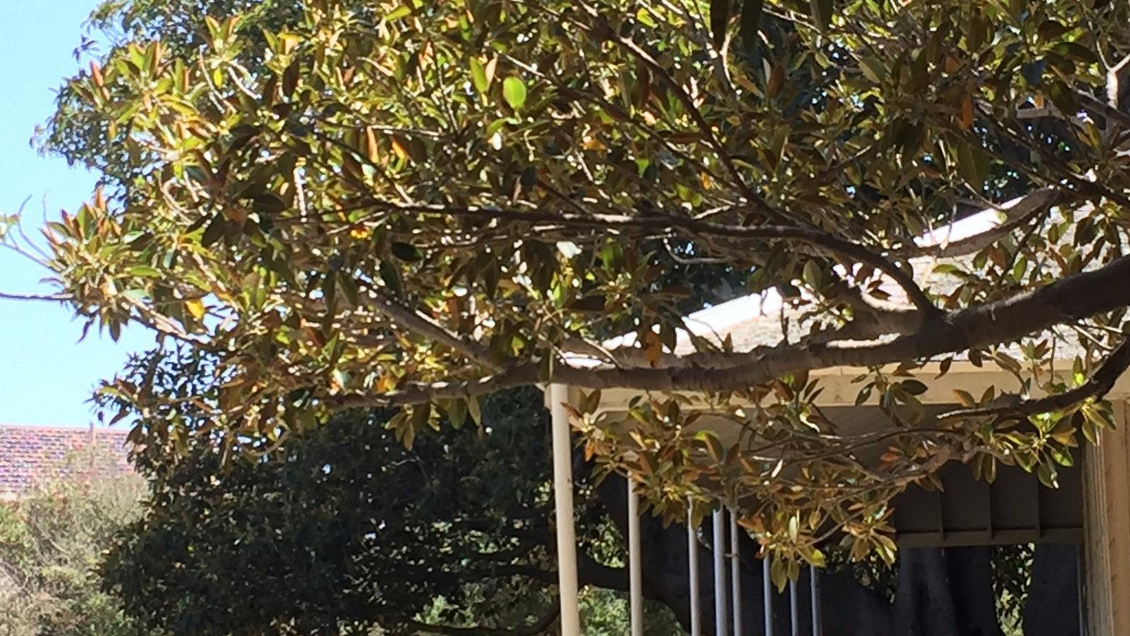 Moreton Bay Fig Tree at Black Rock House