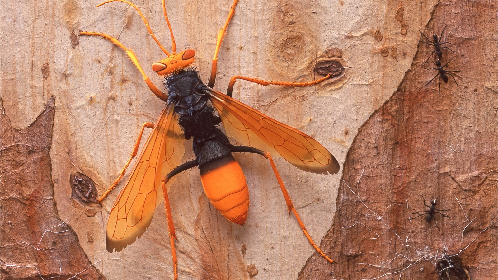 Extremely realistic Spider Hunter Wasp paper sculplture. 45 x 35 cm.  Silver Award NY Show