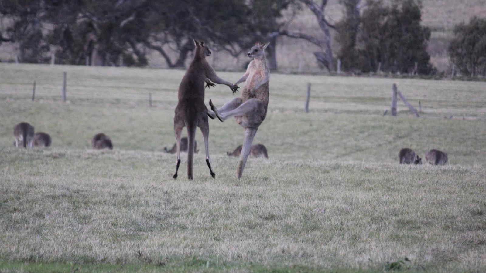 Legendary Kangaroos
