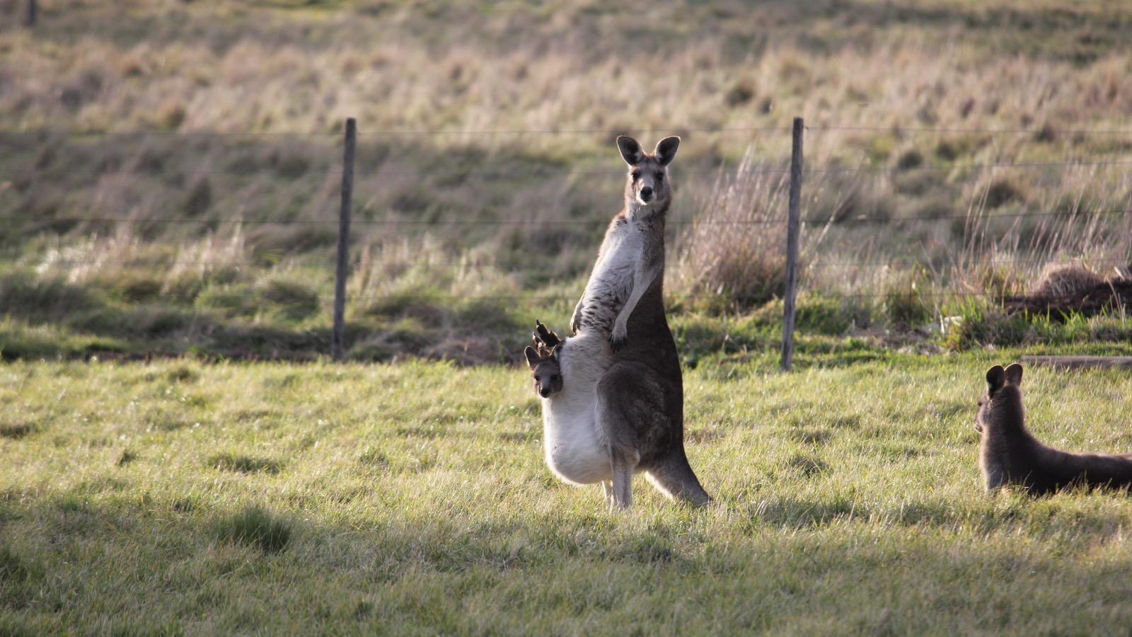 Kangaroo Motherload