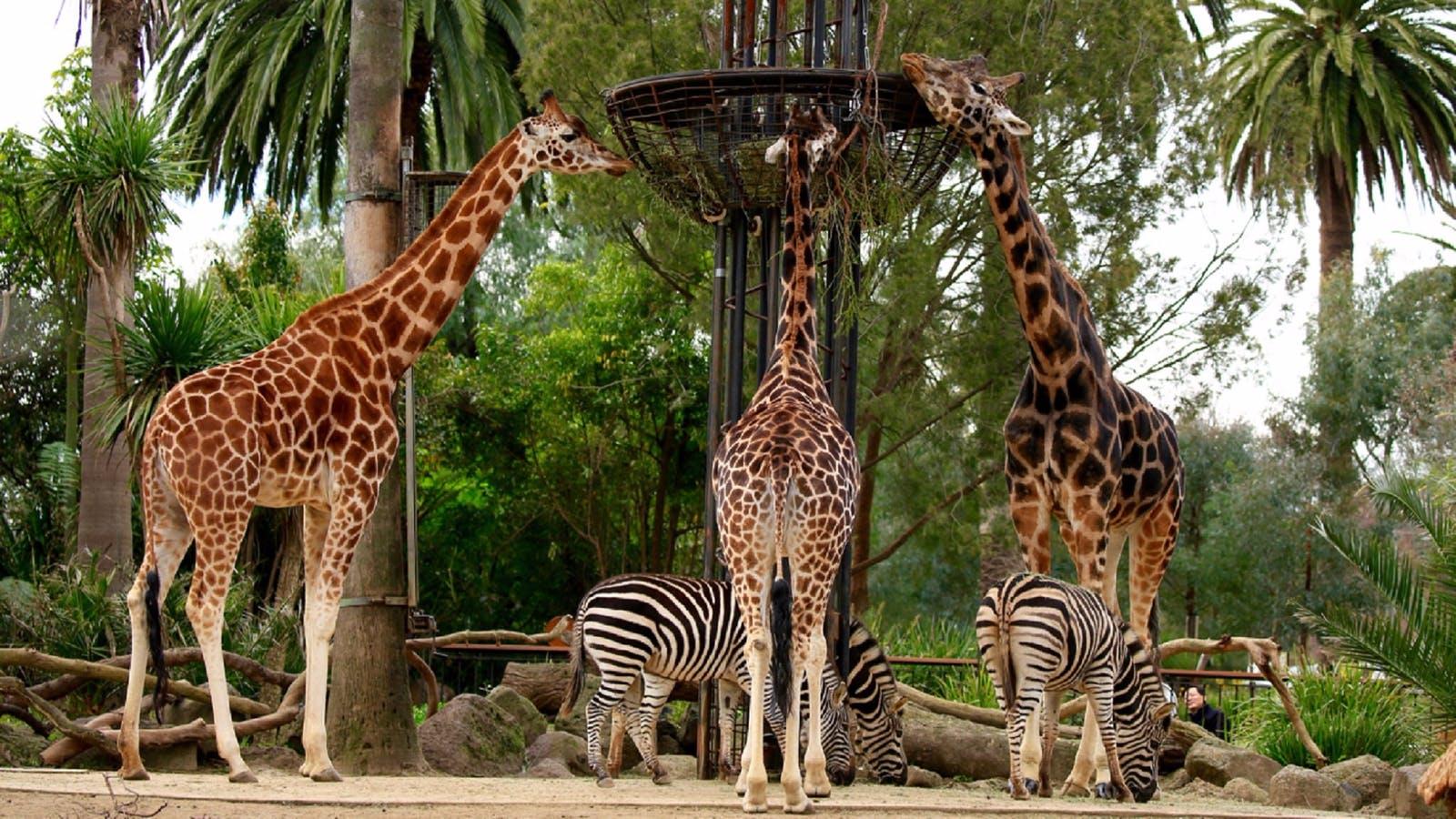 Giraffe viewing platform