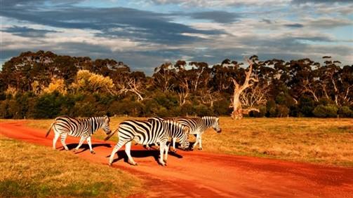 Zebra's at Werribee Open Range Zoo
