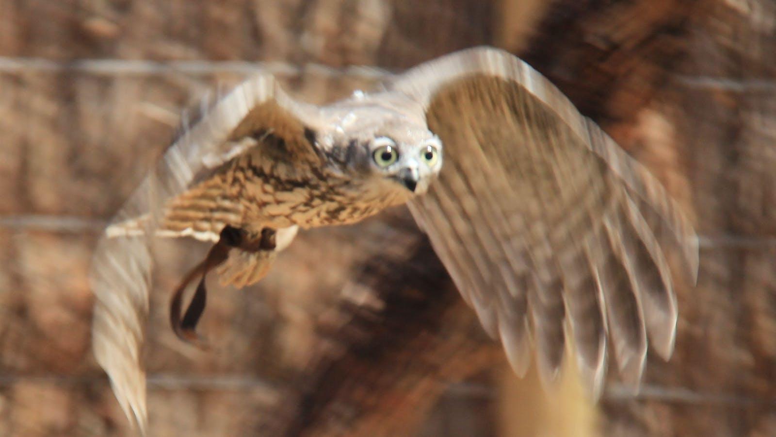 Moonlit Sanctuary Wildlife Show Owl in flight